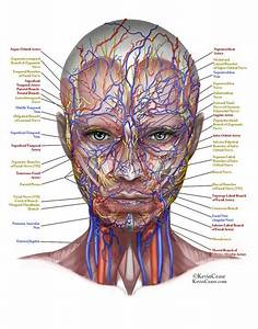 Anatomy Of The Face Skin Female Facial Anatomy Of The