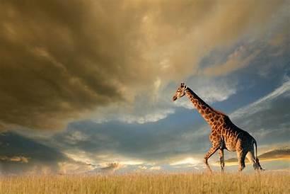 Giraffe 4k Wallpapers Animals Backgrounds