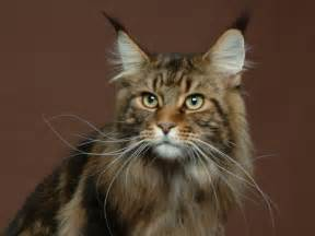 coon cats maine coon cat information big friendly