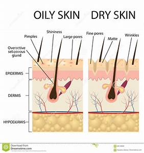Human Skin Layer Vector Cross Section Vector Illustration