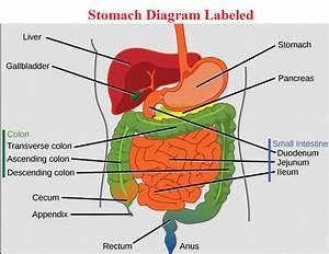 stomach diagram anatomy | health anatomy diagrams