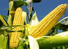 Are Genetically Modified Crops Evil or Effective ...