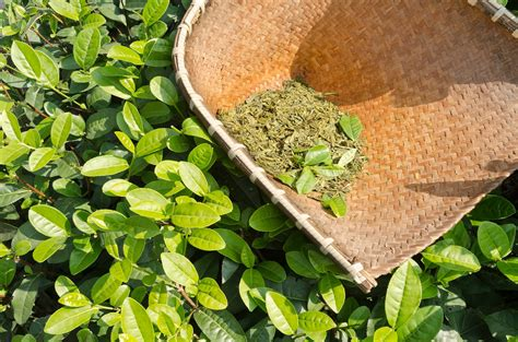 Discover The Advantages Of Green Tea