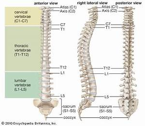 Vertebral column | anatomy | Britannica.com