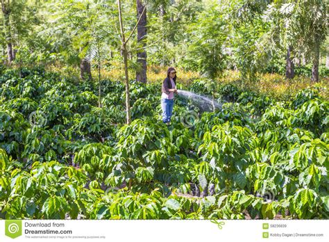 This relatively small country boasts one of the most climatically diverse regions in the world. Guatemala Coffee Plantation Editorial Stock Image - Image of crop, agriculture: 58236839