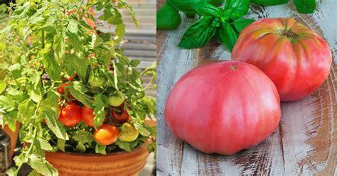 growing heirloom tomatoes  pots   heirloom tomato