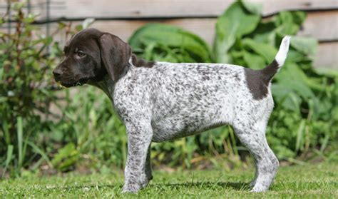 german shorthaired pointer shedding seven things you didn t about the german shorthaired