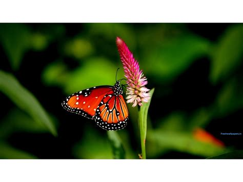 ultra hd butterfly wallpapers