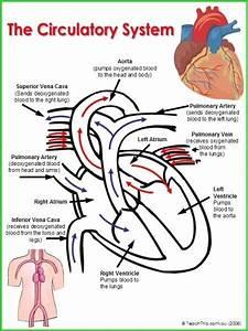 Circulatory System Worksheet Pdf Best Of Circulatory