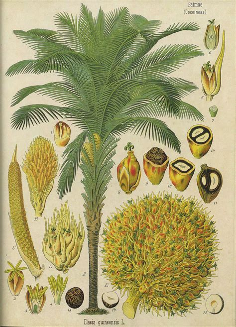 mycose si e b elaeis guineensis la enciclopedia libre