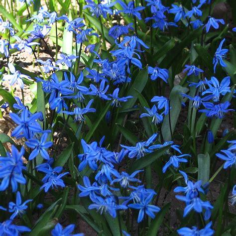 blue summer flowers summer flower blue flowers