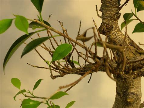 bonsai bescheiden pflege bonsai ficus  bezug auf carica