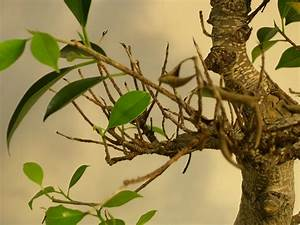 Ficus Bonsai Schneiden : bonsai ficus pflege pflanzen f r nassen boden ~ Indierocktalk.com Haus und Dekorationen