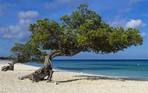 Divi Aruba by Pentax K 5 Divi Divi Tree Aruba Neth Ant Ricoh