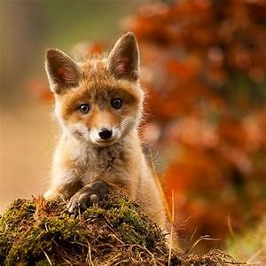 Cute Baby Fox by Adamec | Canids & Dogs | Pinterest | The ...