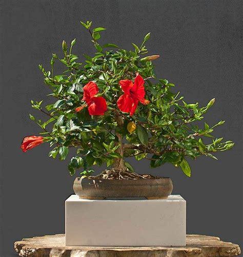 entretien hibiscus conseils  astuces pour des plantes