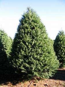 Conifer Trees Homes and Gardening