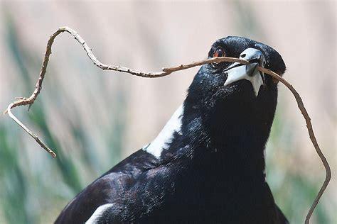 birds   build  nests