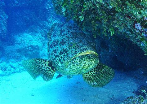 grouper goliath atlantic itajara epinephelus gfdl kok albert