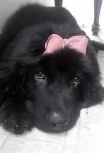 So Cute Newfoundland Puppies