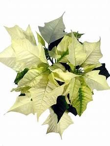Weihnachtsstern Pflanze Kaufen : weihnachtssterne pflanzenklick ~ Michelbontemps.com Haus und Dekorationen