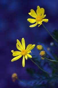 Blue and Yellow Daisy Flower