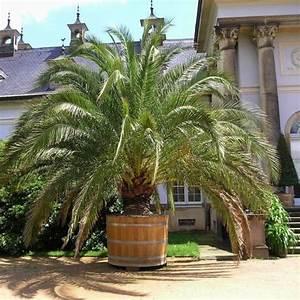 Phoenix Canariensis Entretien : palmier des canaries prix ~ Melissatoandfro.com Idées de Décoration