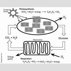 Photosynthesis And Cellular Respiration Worksheet Answers Homeschooldressagecom