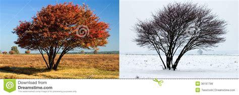 Im Herbst Und Winter by Der Gleiche Baum Im Sommer Und Im Winter Stockbild Bild