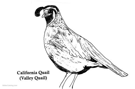 california quail coloring pages  printable coloring