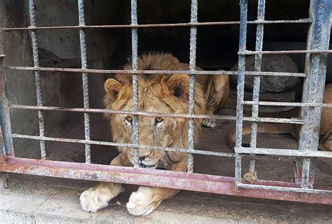 zoo animals animal cage lion yemen lions war death died starve they abandoned starving wildlife
