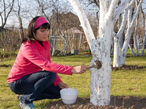 obstbäume vor schützen obstb 228 ume kalken