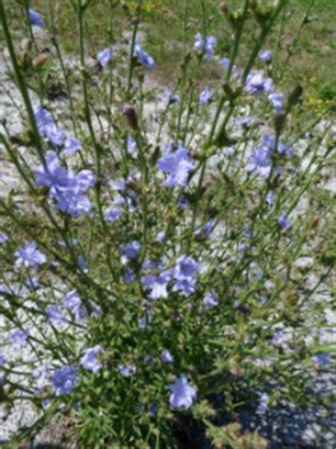 Chicory: Pictures, Flowers, Leaves and Identification   Cichorium intybus