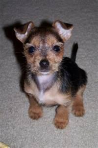 Silkyhuahua (Silky Terrier-Chihuahua Mix) Info, Puppies ...