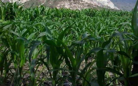 lengkap budidaya jagung tot  olah tanah