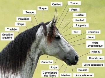 corp du cheval