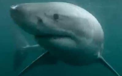 un baigneur se retrouve nez 224 nez avec un requin blanc
