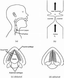 Diagrams Of The Larynx And Vocal Folds   A  Midsagittal