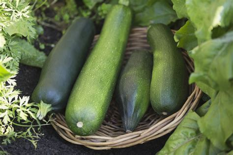 How to Harvest Zucchini
