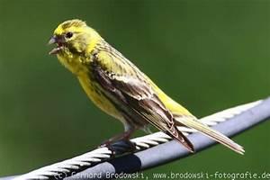 Heimische Singvögel Bilder : gartenv gel bestimmen leicht gemacht iq84 messianica ~ Whattoseeinmadrid.com Haus und Dekorationen