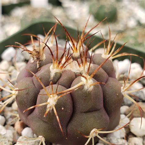 Gymnocalycium pflanzii albipulpa - Planet Desert