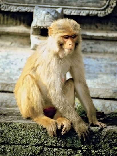 Monkey Rhesus Macaca Primate Britannica Macaco Mulatta