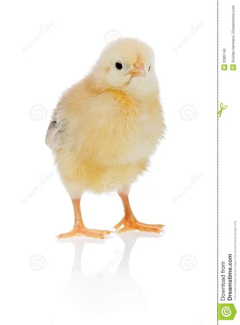 Young Chicken, Yellow Version Stock Photo  Image Of