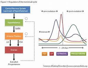 Diagram Feedback Of Hormones And Ovulation Hormones Of ...