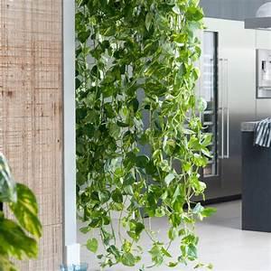Bambus Pflege Zimmerpflanze : efeutute epipremnum pinnatum mein sch ner garten ~ Frokenaadalensverden.com Haus und Dekorationen
