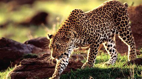 Hd Leopard Wallpaper Wallpapersafari