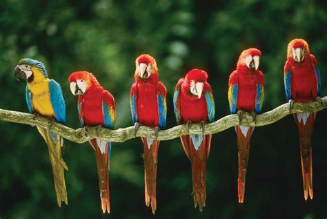macaw lifespan macaw parrot wallpapers wallpaper cave