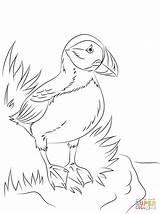 Puffin Coloring Atlantic Printable Seabird Puffins Bird Pole North Papageientaucher Coloriage Ausmalbilder Ausdrucken Supercoloring Malvorlagen Zum Sheets Ausmalbild Colouring Drawing sketch template