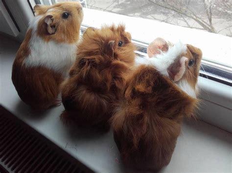 guinea pig names guinea pig names 28 images unique names for new guinea pigs images frompo guinea pig
