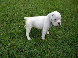 White boxer puppy at 6 weeks! | Reef Coral | Pinterest ...